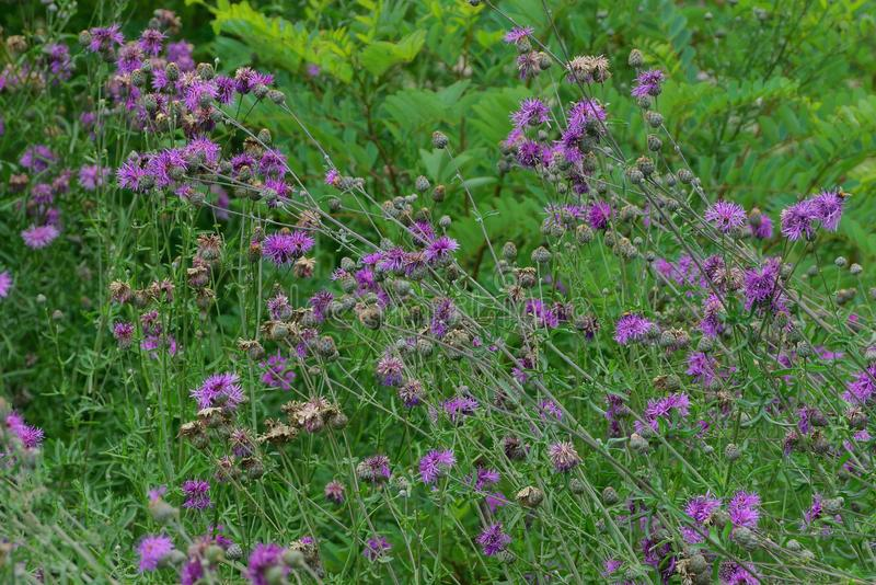 Wild green bushes and grass with thistle flowers in the garden. Thickets of wild green bushes and grass with thistle flowers in the garden stock image