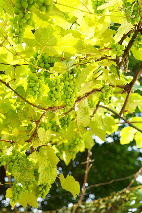 Download Wild green grapes stock photo. Image of field, garden - 25875124