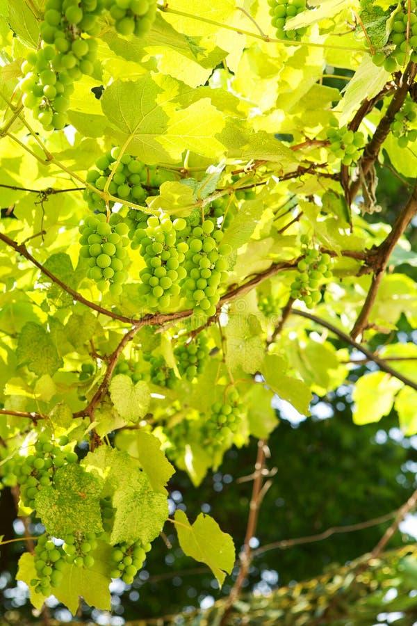Wild green grapes