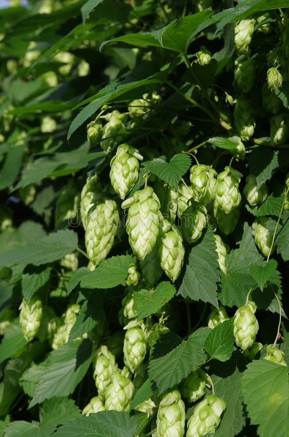 Wild green hops Humulus lupulus in a forest near Kyiv, Ukraine royalty free stock image