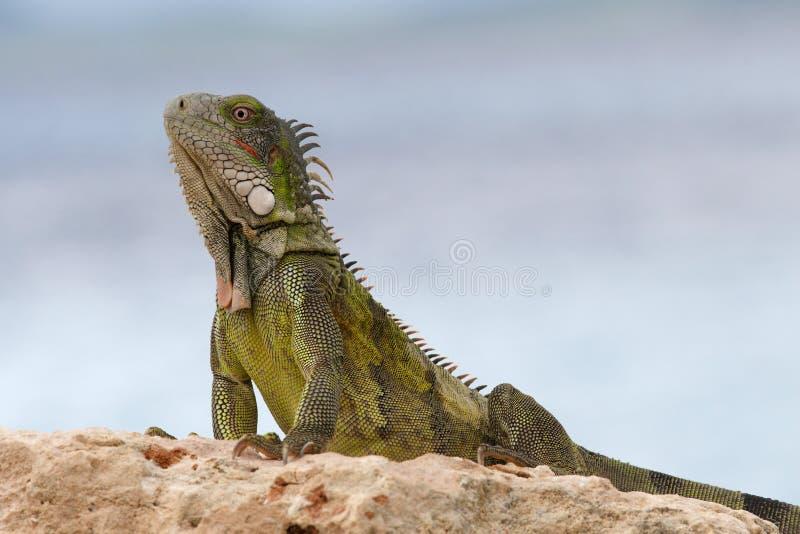 Wild Green Iguana On Rock Stock Photos