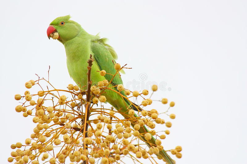Download Wild Green Parrot Eating stock photo. Image of nature - 7361186
