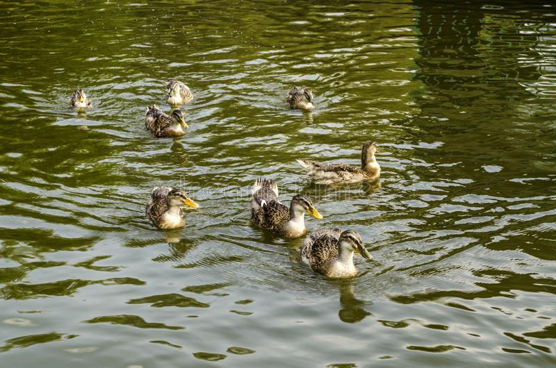 Wild grey ducks swim in dark green water covered with ripples in an artificial pond near stock photo