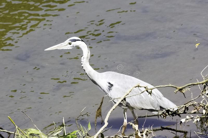 Wild grey heron on hunt in the River Thames. Wild grey heron / Ardea cinerea / on hunt in the River Thames - Richmond upon Thames, United Kingdom stock images