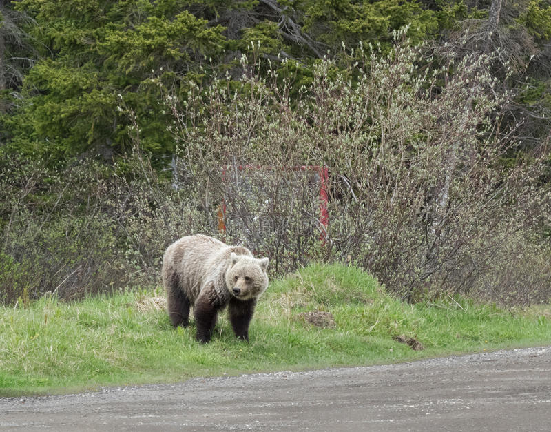 Wild Grizzly Bear stock image