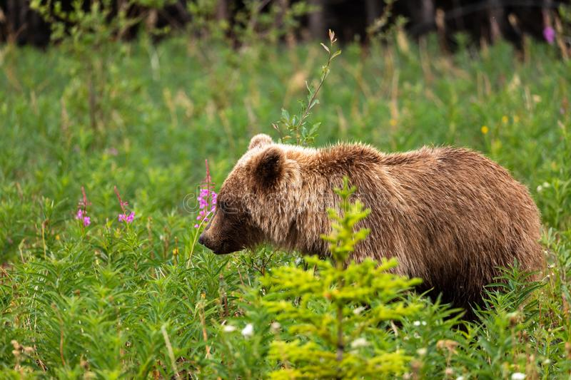 A Grizzly Bear on a Meadow. A Wild Grizzly Bear on a Meadow stock image