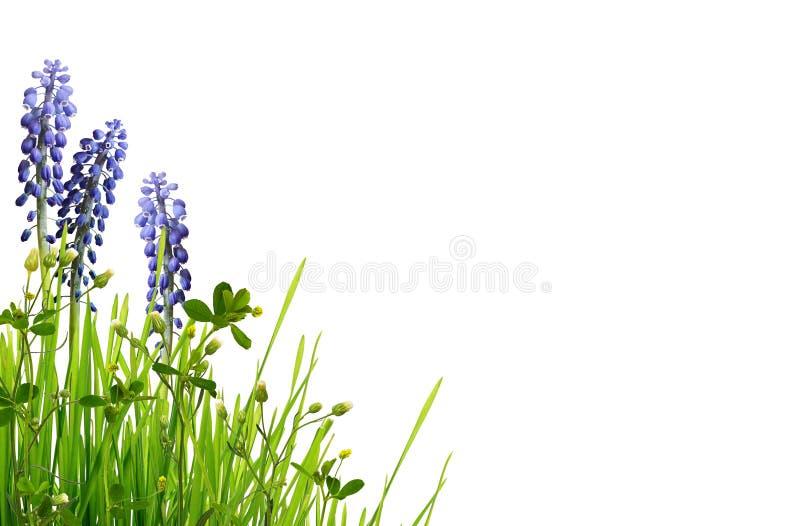 Wild groen gras en blauwe muscaribloemen royalty-vrije stock foto