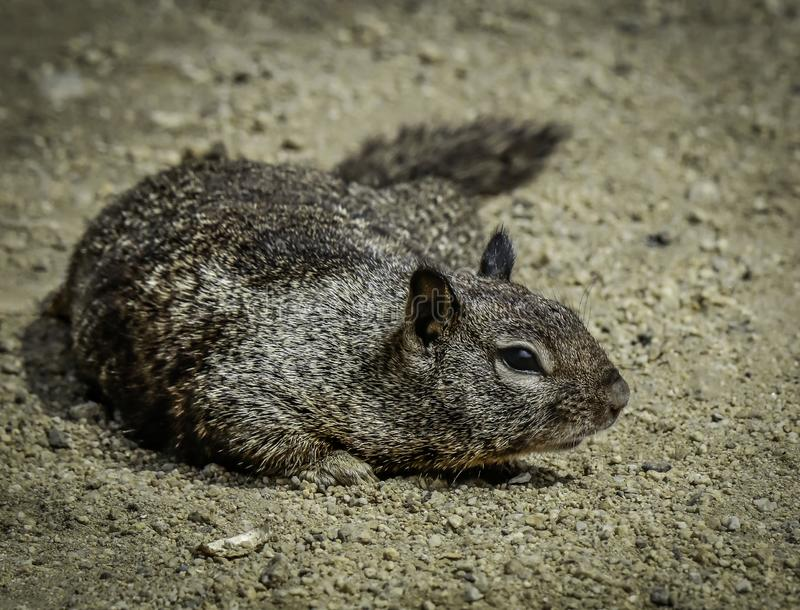 Ground Squirrel With Spots. Wild ground dwelling squirrel crouched on sand royalty free stock photo