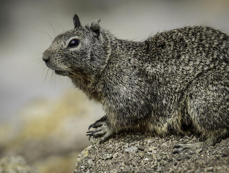 Ground Squirrel With Spots. Wild ground dwelling squirrel perched on a rock royalty free stock photo