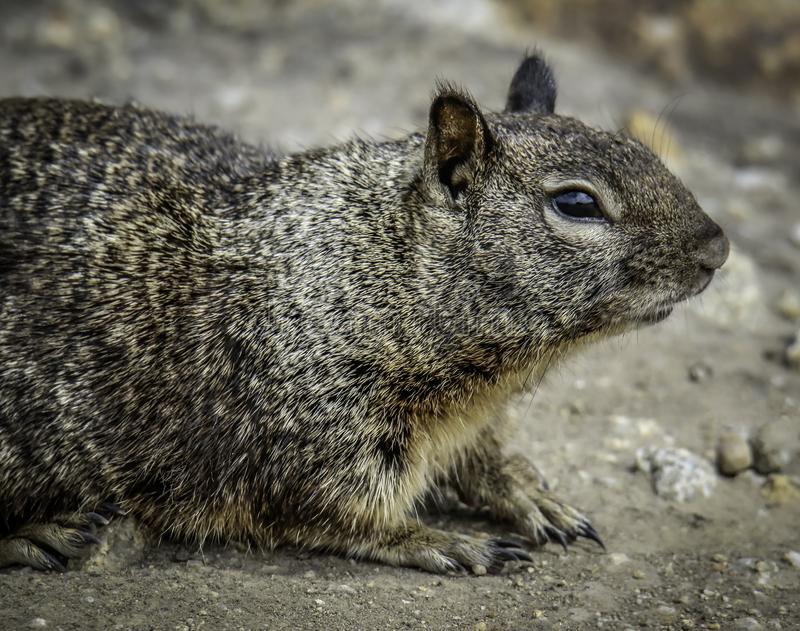 Ground Squirrel With Spots. Wild ground dwelling squirrel perched on a rock royalty free stock images
