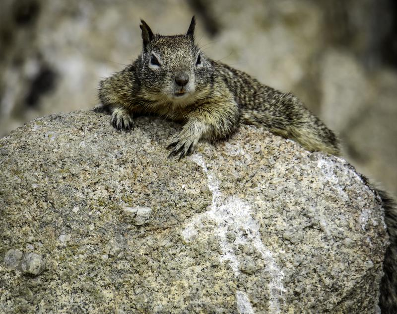 Ground Squirrel With Spots. Wild ground dwelling squirrel perched on rock royalty free stock photos