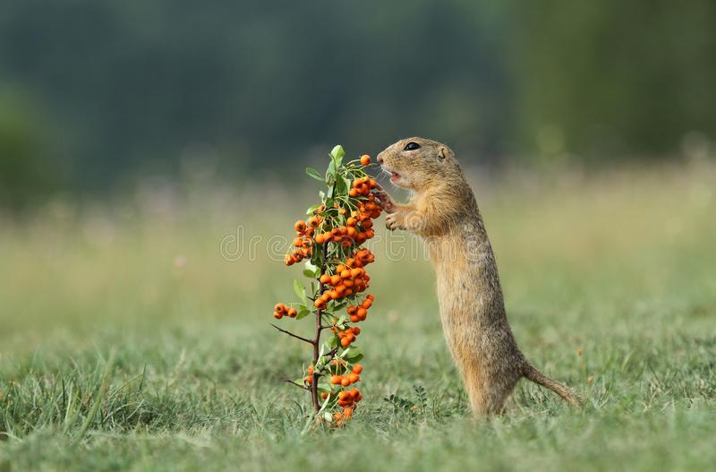 Download Wild ground squirrel stock image. Image of hunger, ground - 26495645