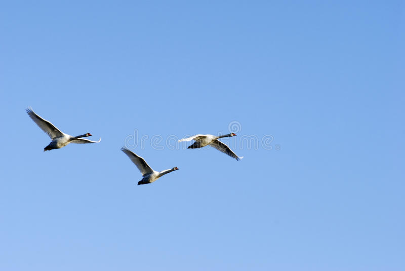 Wild group of swans. Flying by over winter sea in Denmark stock images