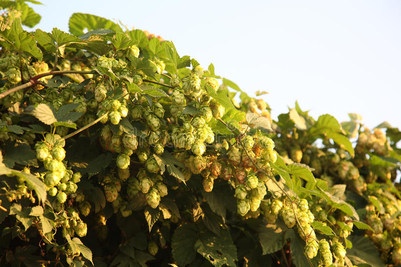 Download Wild-growing bushes of hop stock photo. Image of spice - 12411990