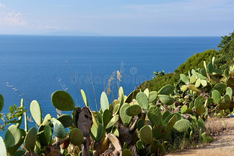 Viewpoint at Capo Vaticano , Calabria. Wild growing indian figs at the rocks of Capo Vaticano in Calabria. The fruit will be harvested and in former time the stock photography