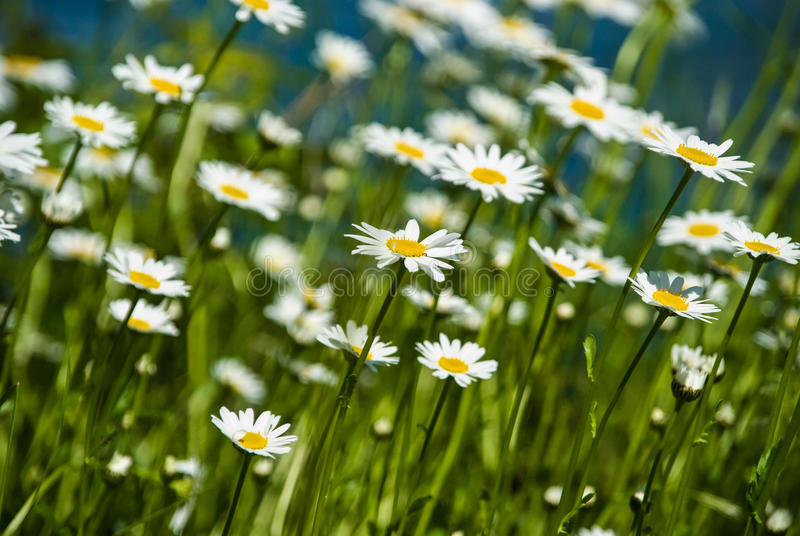 Wild growing marguerite stretching towards sunlight in spring. Marguerite stretching towards sunlight in spring royalty free stock photography