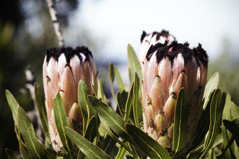 Oleander Leaf Protea protea neriifolia Flowers In Full Bloom royalty free stock image