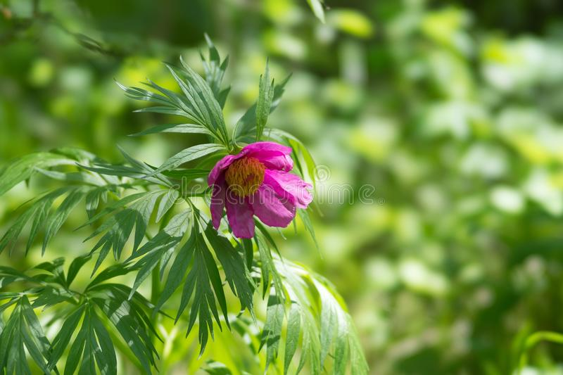 Wild-growing pink simple peony `Maryin root` Paeonia anomala blooms in the forest. royalty free stock photos