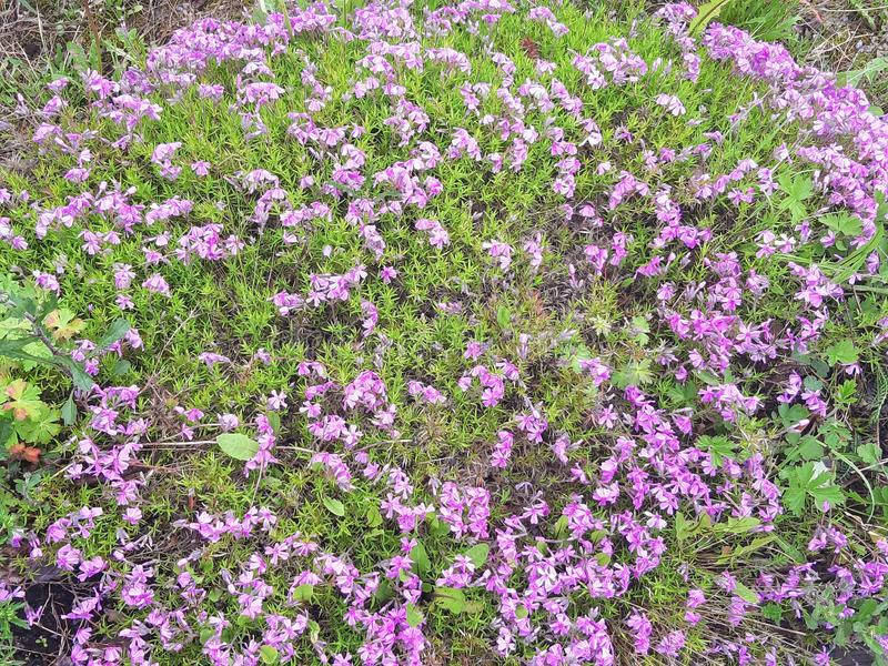 Wild growing wild flowers Purple perennials stock images