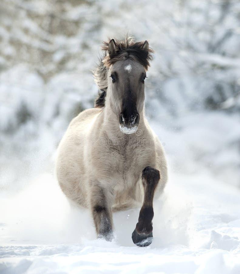 Wild grula horse running in the snow stock photos