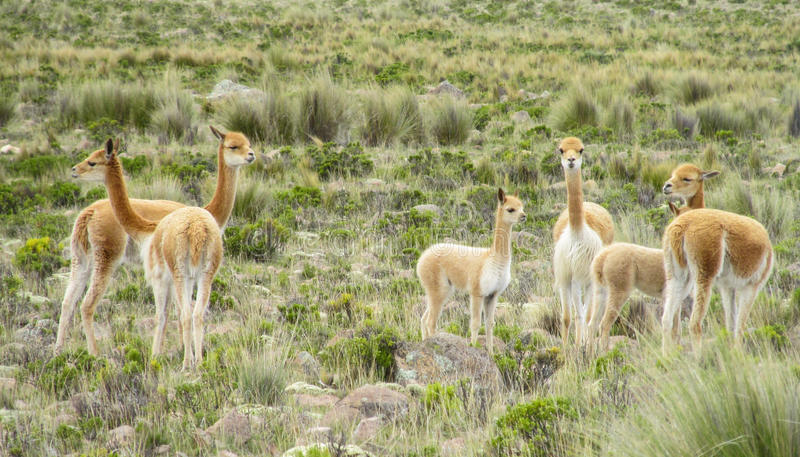Wild Guanaco herd in pampa. Guanaco in pampa bushes in Patagonia. South American camelid wild animals on the green field in Patagonia, Argentina and Chile stock photography
