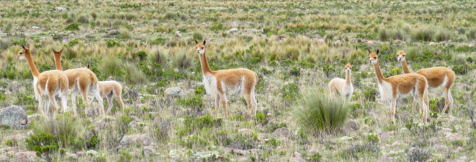 Wild Guanaco herd in pampa. Guanaco in pampa bushes in Patagonia. South American camelid wild animals on the green field in Patagonia, Argentina and Chile stock photos