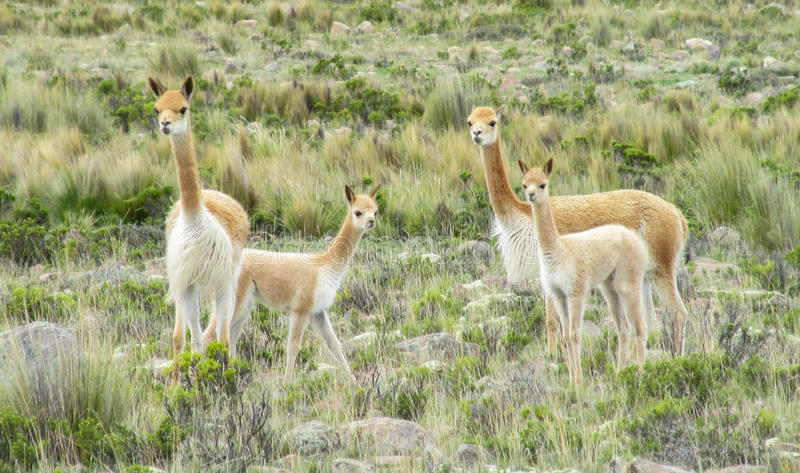 Wild Guanaco herd in pampa. Guanaco in pampa bushes in Patagonia. South American camelid wild animals on the green field in Patagonia, Argentina and Chile stock image