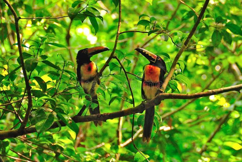 wild guatemala toucans royaltyfri bild