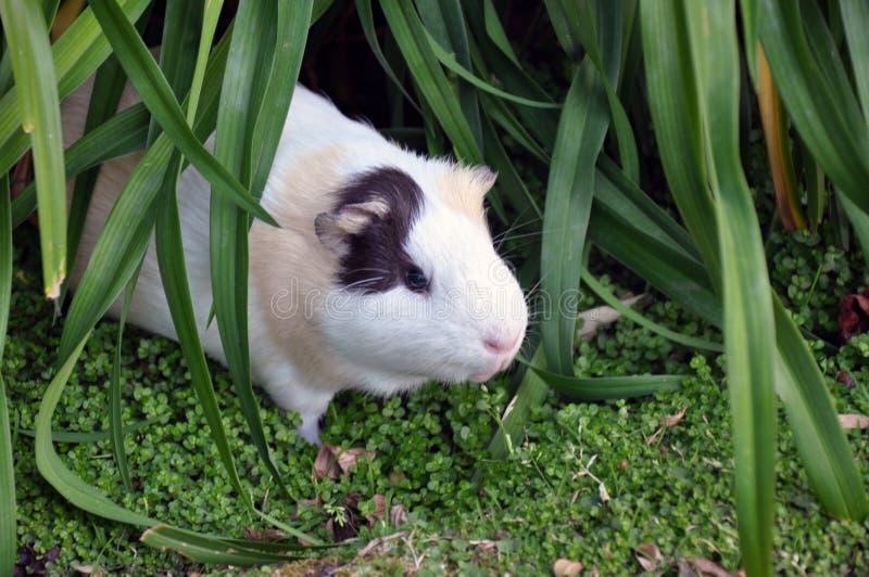 Wild Guinea Pig royalty free stock photos