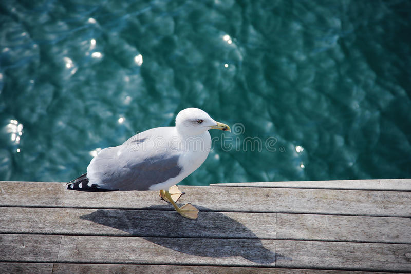 Download Wild gull stock photo. Image of animal, water, deck, bird - 25531980