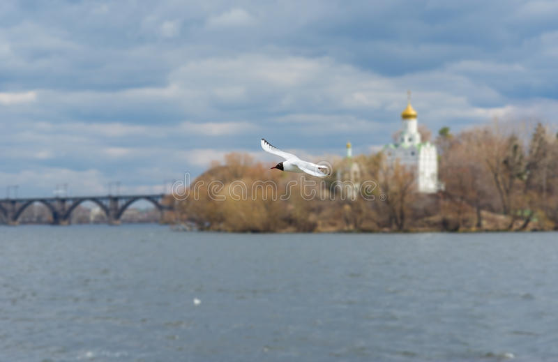 Wild gull flying over Dnepr river. In Ukraine stock photography