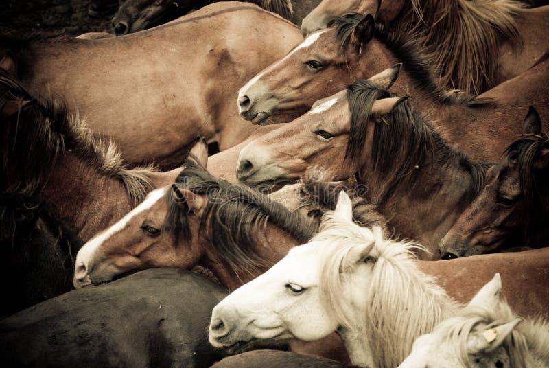 wild hästar arkivfoto