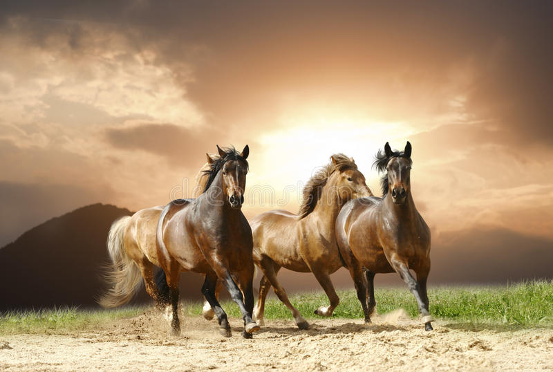 wild hästar royaltyfri bild