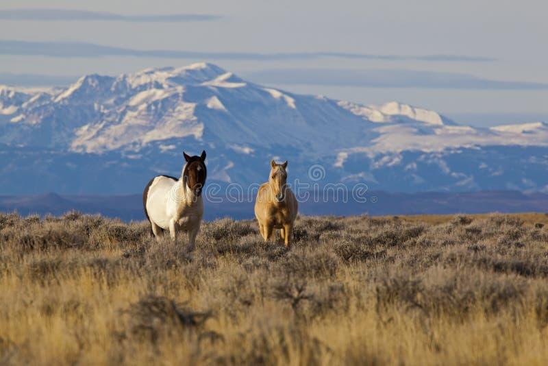 Wild hästar i Wyoming med snow capped berg royaltyfria bilder