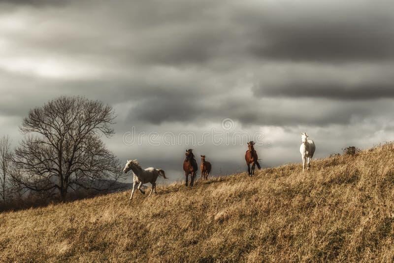 Wild hästar på äng arkivfoton