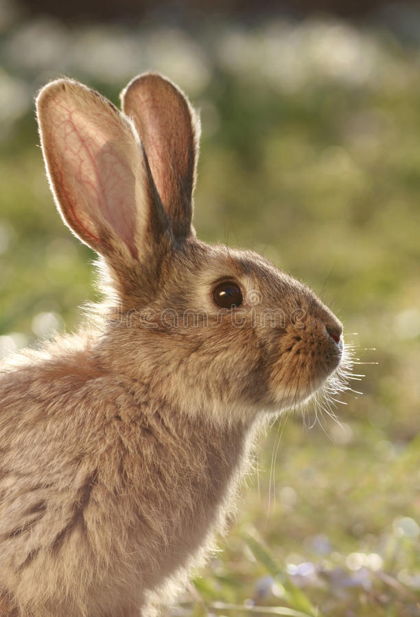 Download Wild Hare Royalty Free Stock Photo - Image: 12863295