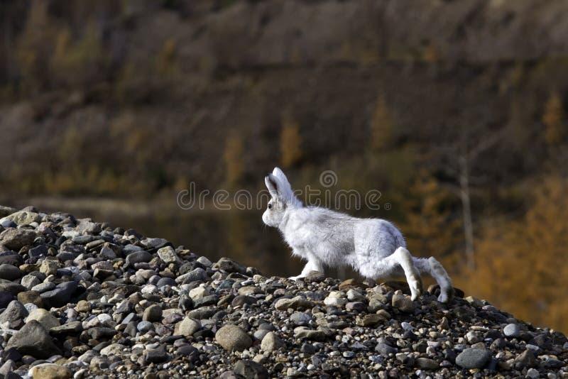 Wild Hare Royaltyfria Bilder