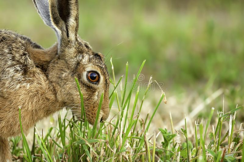 Wild hare in amazing close up detail. Stunning close up of a wild brown hare in a field eating a plant in norfolk UK stock photography