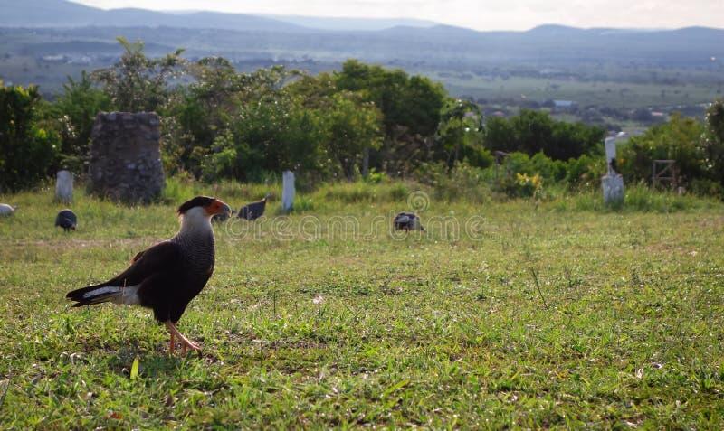 Wild hawk on the grass stock photo