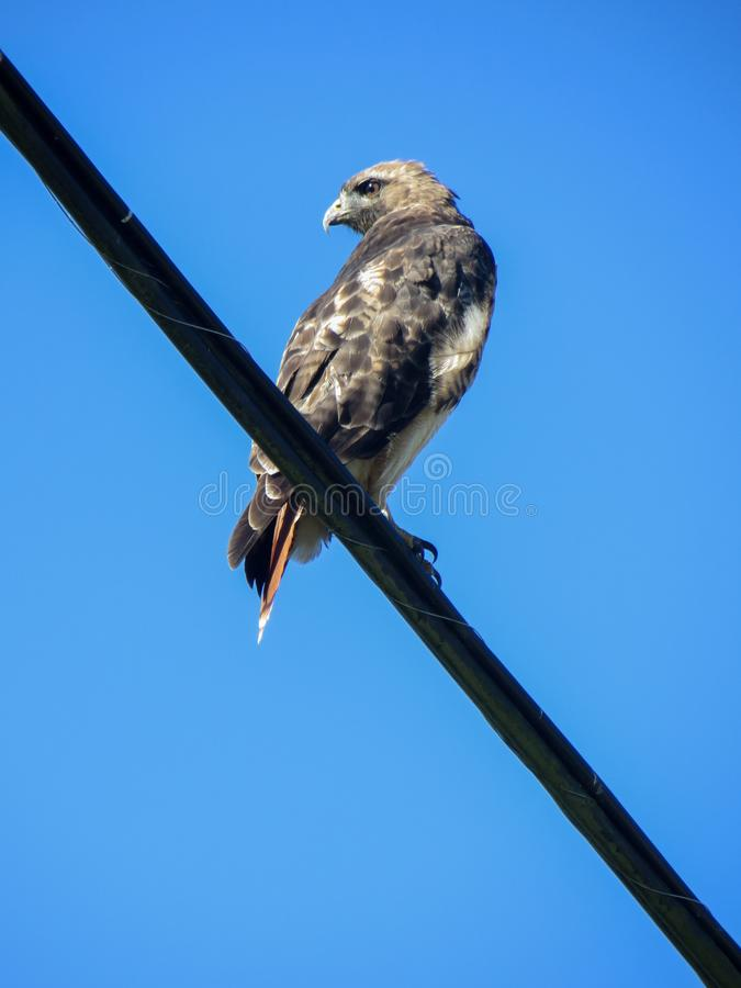 A wild hawk watches around, sitting on an electric wire royalty free stock photography