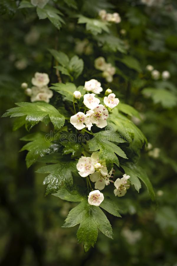 Wild hawthorn branch in white flowers in spring stock photography