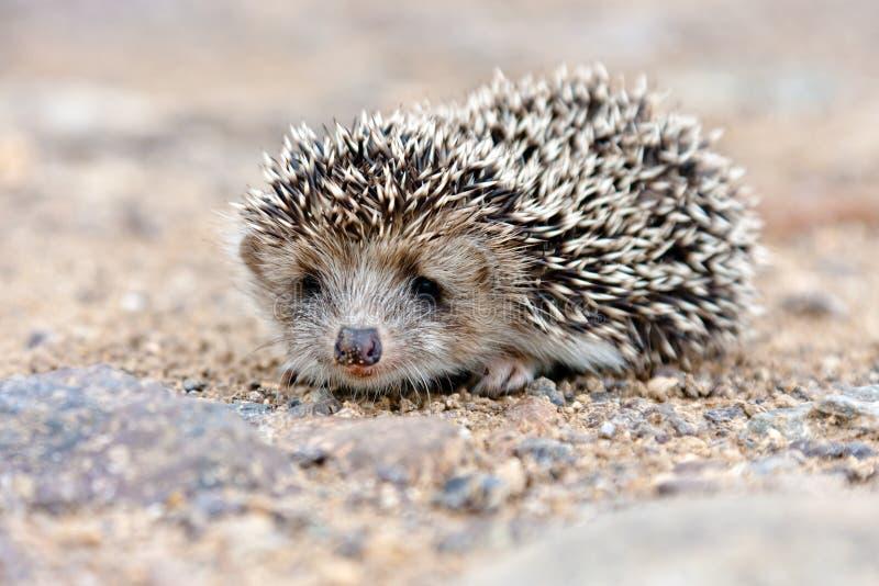Download Wild hedgehog stock photo. Image of predator, nature - 22874876