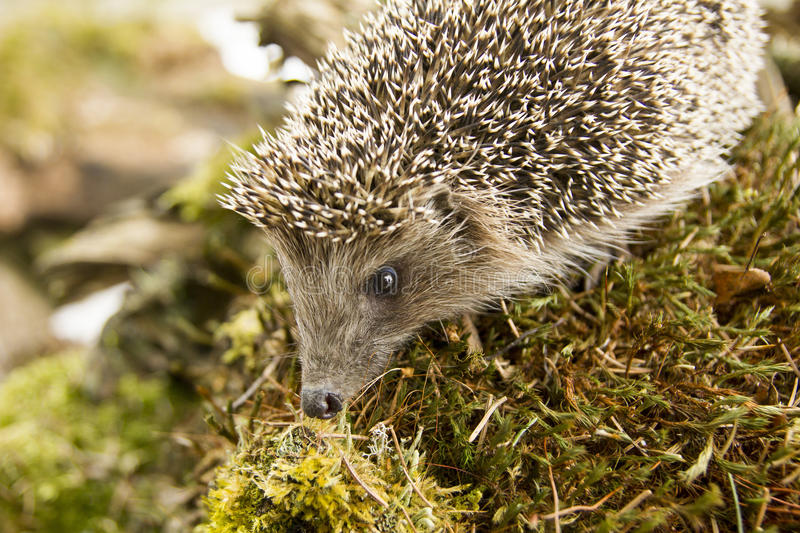 The wild hedgehog in the forest stock image