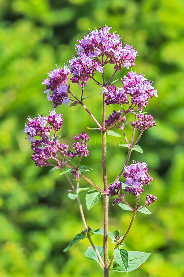 Wild herb Oregano lat. Origanum vulgare royalty free stock image