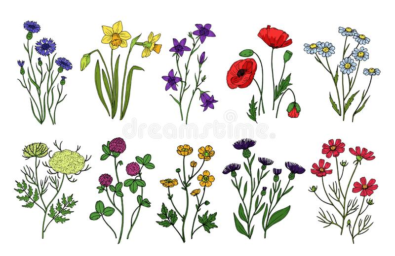 Wild herbs and flowers. Wildflowers, meadow plants. Hand drawn summer and spring field flowering. Vintage vector. Isolated set. Illustration of flower blossom royalty free illustration