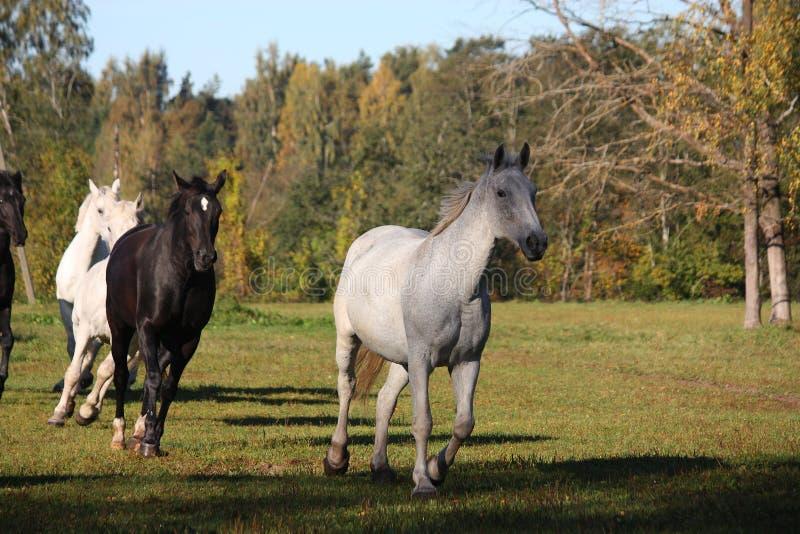 Wild herd running free at pasture royalty free stock photos