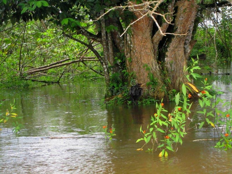 Wild het Levenstoevluchtsoord Costa Rica van de Cañozwarte stock afbeeldingen