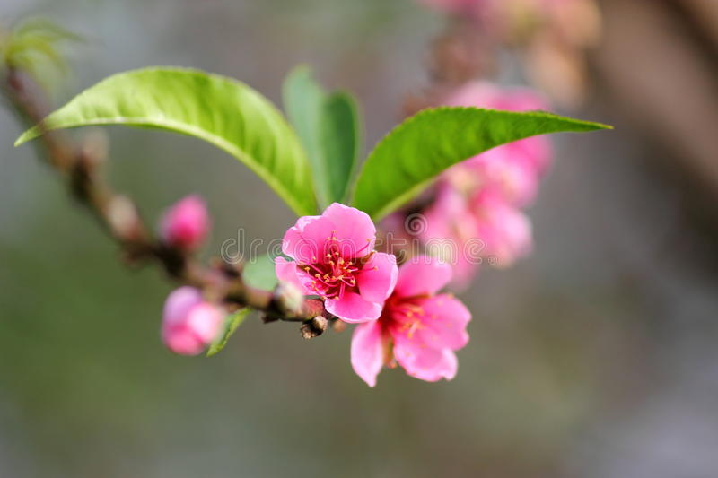 Himalayan cherry (Prunus cerasoides) blooming. At Chiangmai, Thailand royalty free stock photos