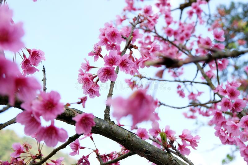 Wild himalayan cherry blooming at Doi Ang Khang Chiang Mai Province Thailand: Spring time flowers background,Thai sakura flower stock photo