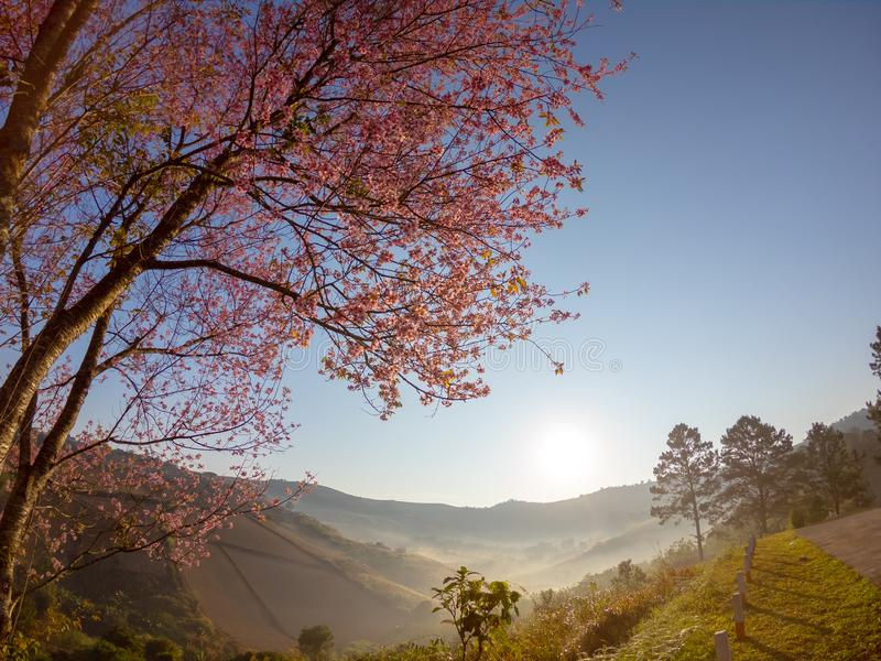 Wild Himalayan Cherry blossom on mountain at sunrise view landscape in Thailand. stock image